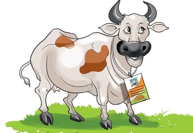 Cows get GPS-enabled microchip ear implant as Aadhaar ID for cattle begins in Gujarat